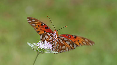 Gulf Fritillary On Elephantsfoot Poster