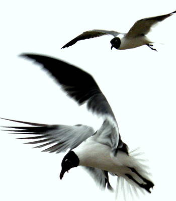 Poster featuring the photograph Gulf Gulls by Antonia Citrino