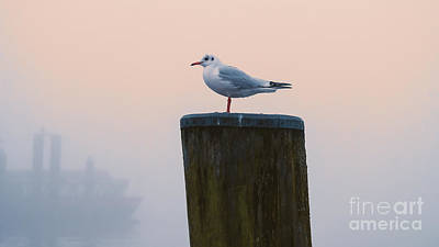 Gull And Fog Poster