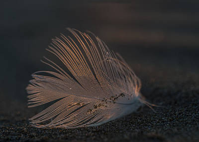 Gull Feather On A Beach Poster