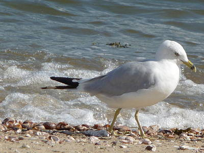 Poster featuring the photograph Gull Strolling The Shore by Margie Avellino