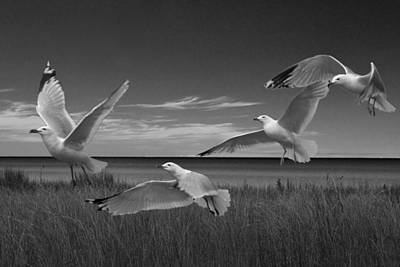 Gulls Along The Shore Poster by Randall Nyhof