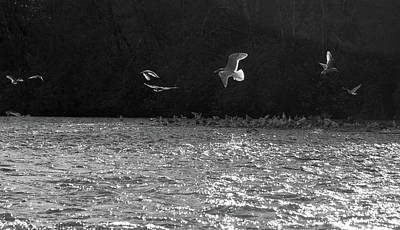 Gulls On The River Poster