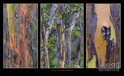 Gum Trees At Lake St Clair Poster by Werner Padarin