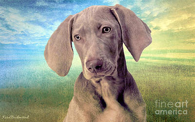 Gunshy Weimaraner Looking For Loving Home Poster