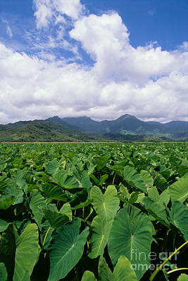 Hanalei Valley Taro Field Poster
