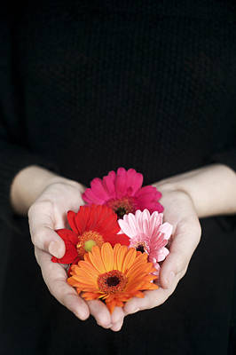 Hands Holding Colorful Gerbera Daisies  Poster