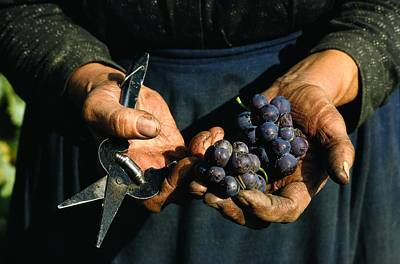 Hands Holding Muscatel Grapes Poster by James P. Blair
