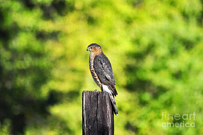 Handsome Hawk Poster by Al Powell Photography USA