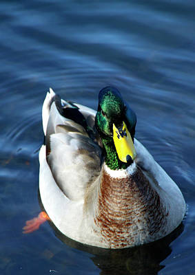 Handsome Male Mallard Poster