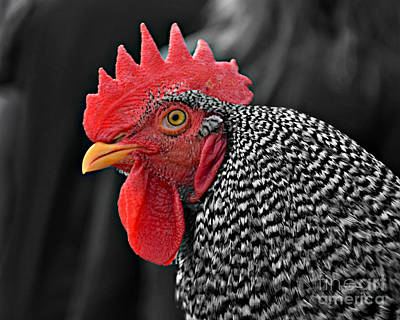 Handsome Plymouth Rock Rooster Poster