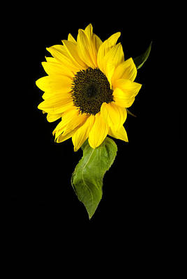 Hanging Sunflower Poster by Elsa Marie Santoro