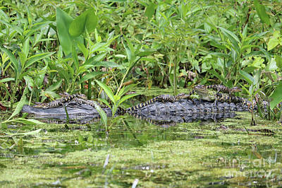 Happy Baby Gators With Mom Poster by Carol Groenen