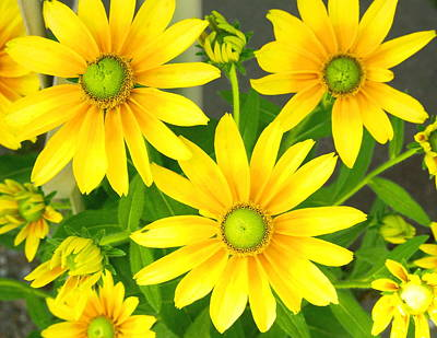 Happy Yellow Summer Cone Flowers In The Garden Poster