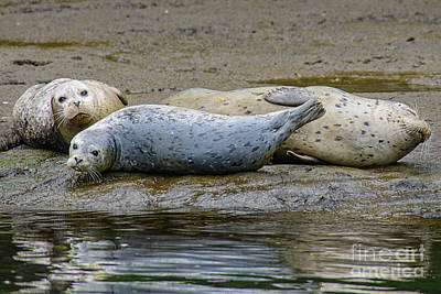 Harbor Seal Banana Pose Poster