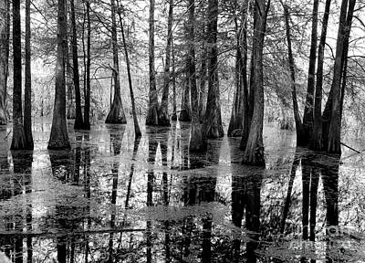 Hardwood Cypress Trees Lake Martin Black White  Poster