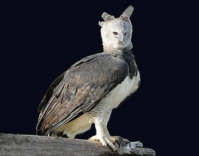 Harpy Eagle Poster