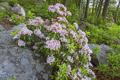 Harriman Pink And White Mountain Laurel Poster