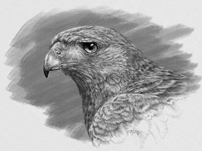 Harris Hawk Drawing Poster by Kathie Miller
