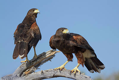 Poster featuring the photograph Harris Hawks by Elvira Butler