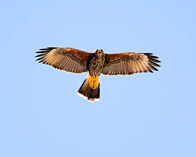 Poster featuring the photograph Harris's Hawk H36 by Mark Myhaver