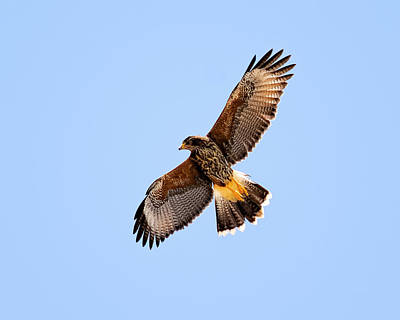 Poster featuring the photograph Harris's Hawk H37 by Mark Myhaver