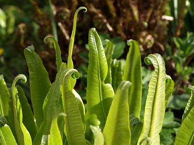Hart's Tongue Fern Poster by Richard Brookes