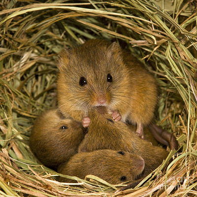 Harvest Mouse Feeding Pups Poster