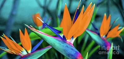 Poster featuring the photograph Hawaii Bird Of Paradise Flowers by D Davila