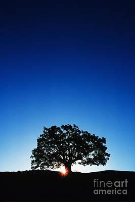 Hawaii Koa Tree Poster by Carl Shaneff - Printscapes