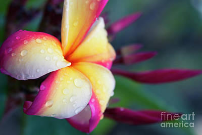 Poster featuring the photograph Hawaii Plumeria Flower Jewels by Sharon Mau