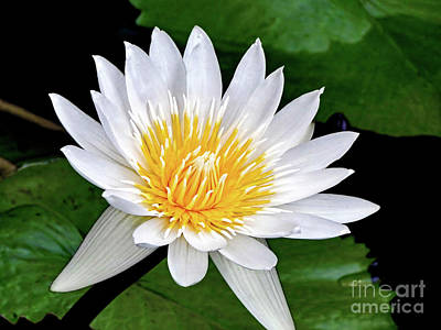 Hawaiian White Water Lily Poster by Sue Melvin