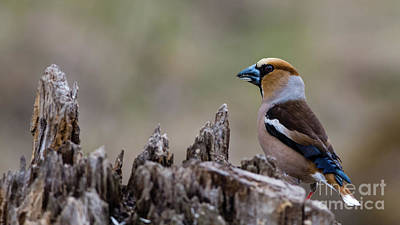 Hawfinch Perching Poster by Torbjorn Swenelius