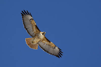 Hawk Above Poster
