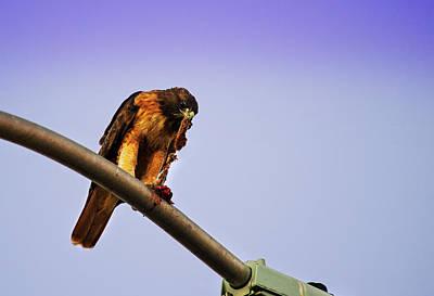 Hawk Eating Poster