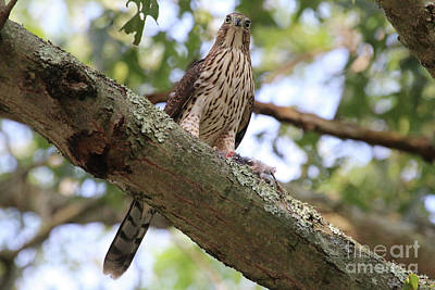 Hawk On A Branch Poster
