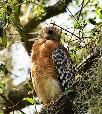 Hawk Taking A Rest On A Tree In Lakeland Florida Poster