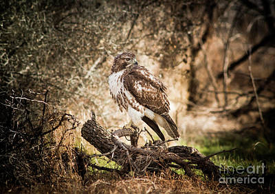 Hawk Through A Thicket Poster by Robert Frederick