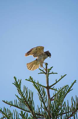 Hawk With Regal Landing Poster