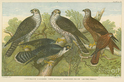 Hawks And Falcons  Poster by English School