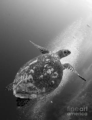 Hawksbill Turtle Ascending Poster by Steve Jones
