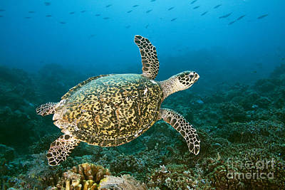 Hawksbill Turtle Poster by Dave Fleetham - Printscapes