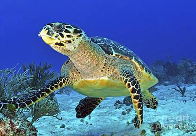Hawskbill Turtle On Caribbean Reef Poster