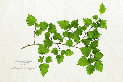 Hawthorn Poster by Christina Rollo