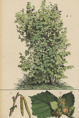 Hazel Tree And Hazelnuts Poster