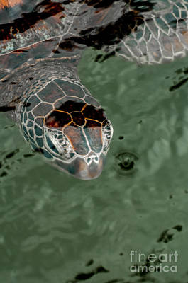 Head Of A Green Sea Turtle In The Water. Poster by Jacques Jacobsz