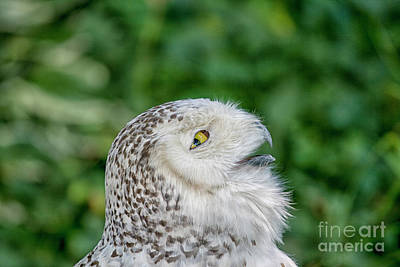 Head Of Snowy Owl Poster