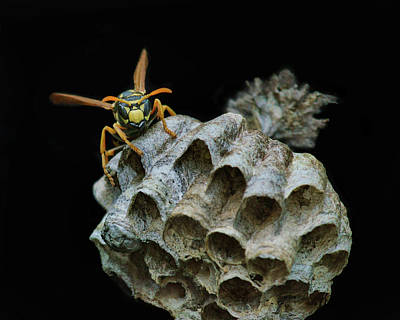 Head-on - Paper Wasp - Nest Poster by Nikolyn McDonald