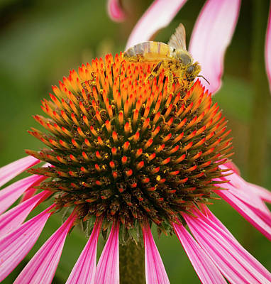 Healthy Echinacea Poster by Jean NorenB