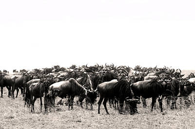 Herd Of Wildebeestes Poster